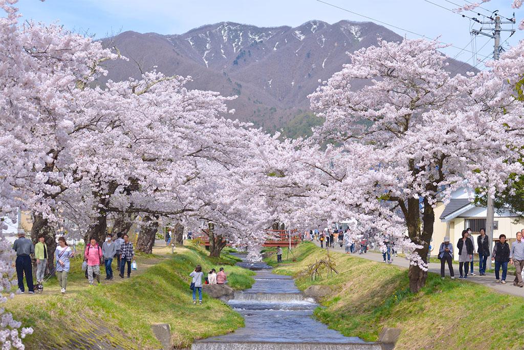 観音寺川の桜