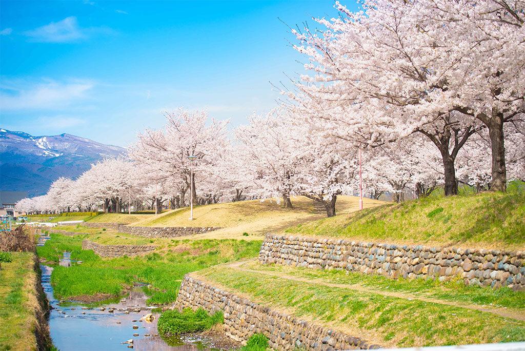 桜堤公園の桜