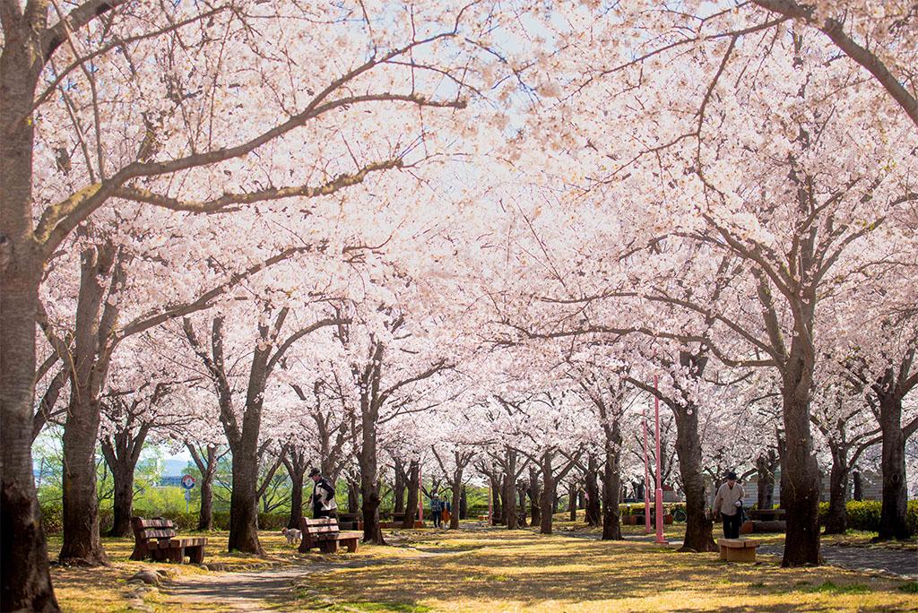 2018 桜づつみ公園 桜