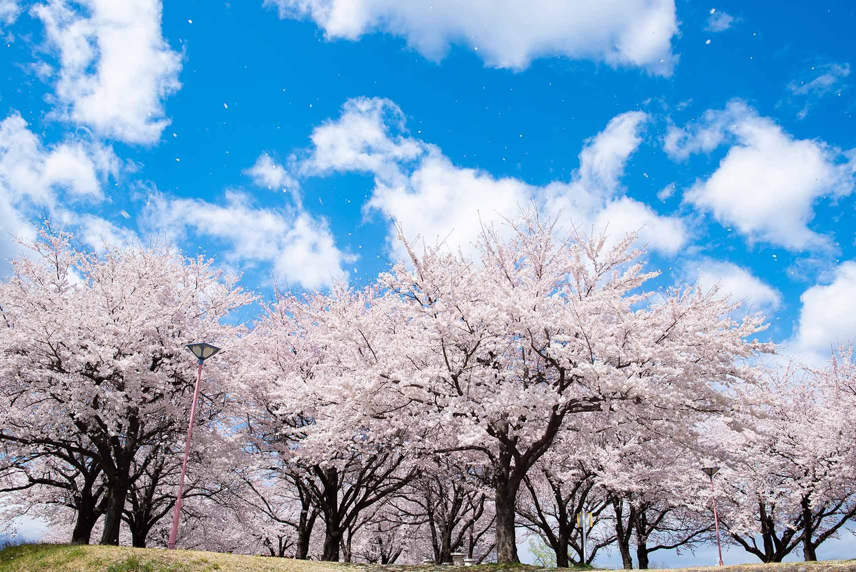 桜づつみ公園 満開の桜